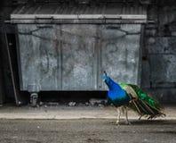 Härlig påfågelfågel i staden, opposition av naturen och urb royaltyfri bild
