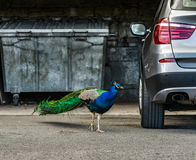 Härlig påfågelfågel i staden, opposition av naturen och urb fotografering för bildbyråer