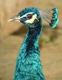 Härlig påfågelhals- och huvuddetalj (pavoen Cristatus) Arkivfoton