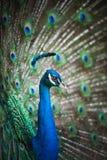 härlig påfågelspread Royaltyfria Bilder