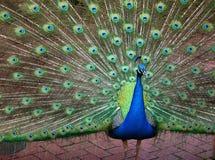 Härlig påfågelspridning fotografering för bildbyråer