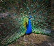 härlig påfågelstående foto av vilda djur Påfågel Fotografering för Bildbyråer