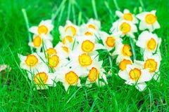 Härlig påskliljalögn Royaltyfria Bilder
