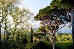 Härlig panorama av pinjeskogen med solig sommardag Barrträd Hållbart ekosystem arkivfoto
