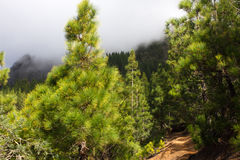 Härlig panorama av pinjeskogen med solig sommardag Barrträd Hållbart ekosystem teide tenerife royaltyfria foton