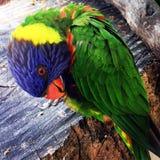 härlig papegoja Arkivfoto