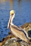 härlig pelikan Arkivbilder