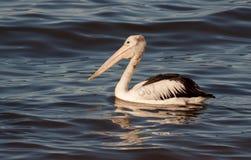 Härlig pelikan med vattenreflexioner Arkivbild