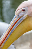 Härlig pelikanstående Den stora vita pelikan - Pelecanus Arkivbilder