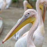 Härlig pelikanstående Den stora vita pelikan - Pelecanus Royaltyfri Bild