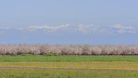 Härlig persikalantgårdblomning runt om Fresno Arkivbild
