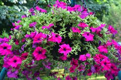 Härlig petuniablom på en vårdag arkivfoton