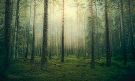 Härlig pinjeskog på dimmig soluppgång royaltyfria bilder