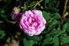 Härlig pion på busken i trädgården Royaltyfria Foton