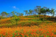 Härlig plats av östliga Taiwan i orange Daylilysäsong Royaltyfria Foton