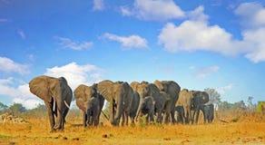 Härlig plats av en flock av elefanter som går till och med den afrikanska busken med en älskvärd cloudscapehimmel royaltyfri fotografi