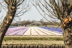 Härlig plats av ett holländskt tulpanfält arkivfoto