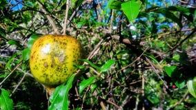 Härlig pomegranate Arkivfoton