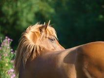 härlig ponny Arkivbild