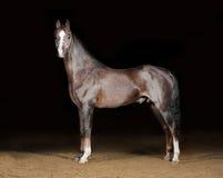 härlig ponny welsh Arkivbilder