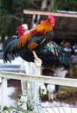 Härlig posera hane som ser kameran Hönor på att dalta zoo på landslantgårdmarknaden Royaltyfri Foto