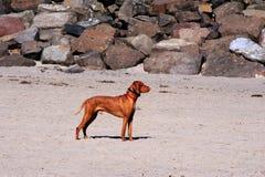 Härlig posera hund på den Oregon stranden Royaltyfri Bild