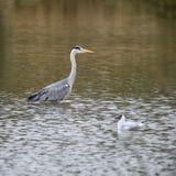 Härlig preying Grey Heron Ardea Cinerea vadande som söker efter fi Royaltyfria Foton