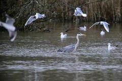 Härlig preying Grey Heron Ardea Cinerea vadande som söker efter fi Fotografering för Bildbyråer