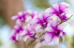 Härlig purpur orchid. Royaltyfri Fotografi