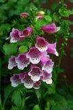 Härlig purpur orchid Arkivbild