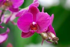 Härlig purpur orchid - phalaenopsis Royaltyfria Foton