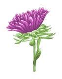 Härlig purpurfärgad aster som isoleras på vit bakgrund Royaltyfri Foto