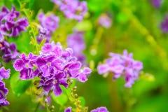 Härlig purpurfärgad blomma av den Duranta erectaen eller Duranta repens, också som är bekant som guld- Dagg-droppe, Lila-blommad  royaltyfri bild