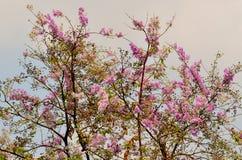Härlig purpurfärgad blomma av Thailand Arkivfoton