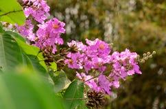 Härlig purpurfärgad blomma av Thailand Royaltyfri Foto