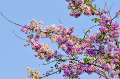 Härlig purpurfärgad blomma av Thailand som är utomhus- Arkivbilder