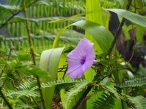 Härlig purpurfärgad blomma i djungeln av Malaysia fotografering för bildbyråer