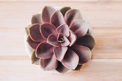 Härlig purpurfärgad kaktus royaltyfri fotografi