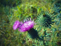 Härlig purpurfärgad kardborre bland grönt gräs Arkivfoto