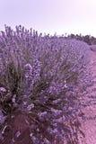 Härlig purpurfärgad lavendelbuske arkivfoto