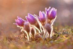 Härlig purpurfärgad liten päls- pasqueblomma Patens för PulsatillagrandisPulsatilla Pasqueflowers Blomma på våräng royaltyfria bilder