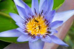 Härlig purpurfärgad lotusblomma och bin på pollenlotusblomma Royaltyfri Bild