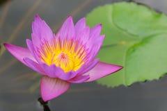 Härlig purpurfärgad lotusblomma på vatten - slut upp royaltyfri foto