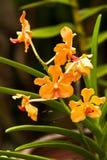 Härlig purpurfärgad orchid Royaltyfri Foto