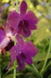 Härlig purpurfärgad orchid Arkivbild
