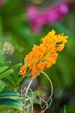 Härlig purpurfärgad orkidé Royaltyfri Bild