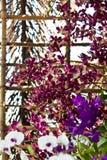 Härlig purpurfärgad orkidé Royaltyfri Foto