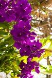 Härlig purpurfärgad orkidé Arkivbilder