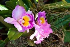 Härlig purpurfärgad orkidé Fotografering för Bildbyråer