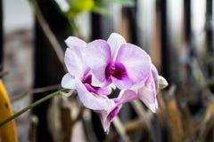 Härlig purpurfärgad orkidé i trädgården Royaltyfri Bild